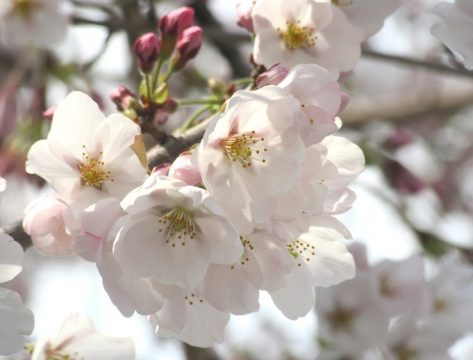 meiwa-sakura
