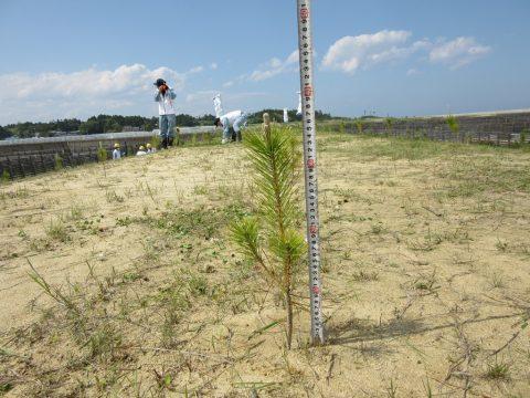 樹高 38cm